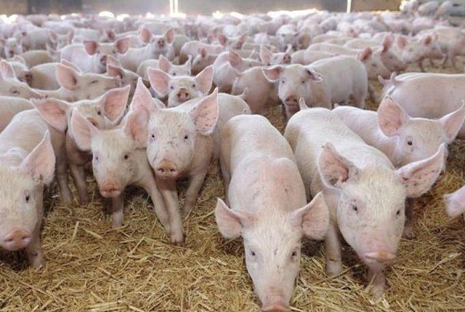 ANSVSA: Pesta porcina, activa in 246 de localitati