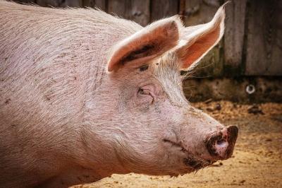 peste-25000-de-porcine-sacrificate-in-timis-din-cauza-ppa