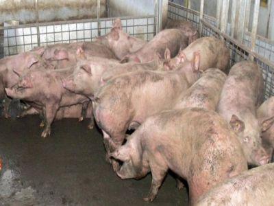 senatorii-au-adoptat-acordarea-ajutoarelor-de-stat-crescatorilor-de-porci