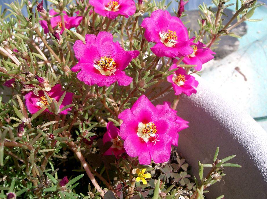 floarea-de-piatra-portulaca-grandiflora