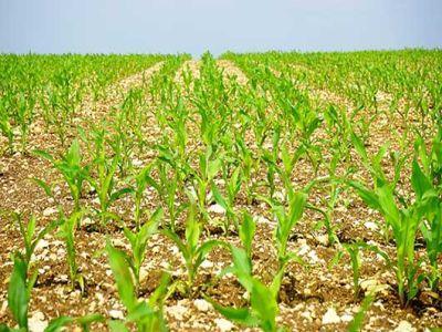 aproape-35-milioane-de-hectare-insamantate-pana-in-prezent-cu-porumb-si-floarea-soarelui