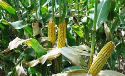 a-crescut-suprafata-cultivata-cu-plante-modificate-genetic-la-nivel-mondial