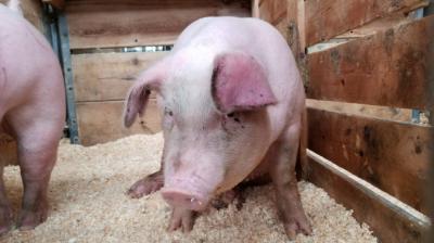 situatia-actualizata-a-focarelor-de-pesta-porcina-africana-si-a-despagubirilorplatite-fermierilor