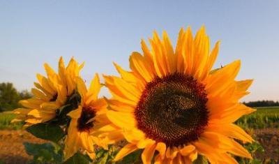 preturi-in-scadere-si-la-rapita-si-floarea-soarelui