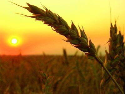 pretul-cerealelor-2013-guvernul-nu-poate-interveni-pe-piata