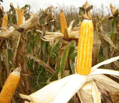 Romania can export 5 million tons of corn