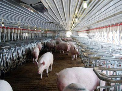 producatorii-din-industria-carnii-de-porc-se-indoiesc-de-rentabilitatea-reluarii-exporturilor-de-porci-vii