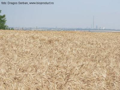 recolta-de-grau-a-romaniei-a-depasit-7-milioane-de-tone-in-2011