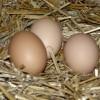 Zootehnie: Avantajele sistemului de crestere a puilor la sol