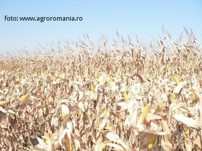 productia-de-porumb-a-romaniei-se-estimeaza-ca-ar-fi-cu-21-mil-tone-mai-mica-ca-anul-trecut