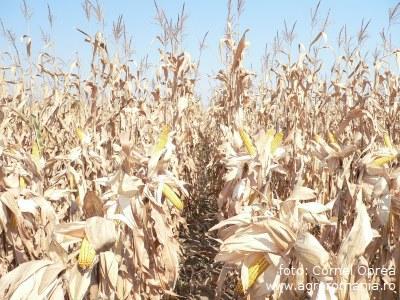suntem-pe-primul-loc-la-suprafata-cultivata-cu-porumb-de-ce-nu-si-la-productie-cateva-cifre-interesante