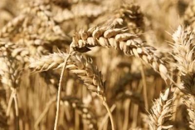 sfarsitul-campaniei-de-recoltare-a-cerealelor-in-judetul-olt