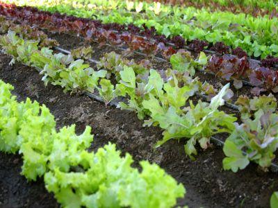 protectia-culturilor-de-legume_grupa-solano-fructoase-in-perioada-premergatoare-verii