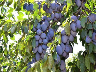 ce-tratamente-fitosanitare-se-fac-in-culturile-de-pruni