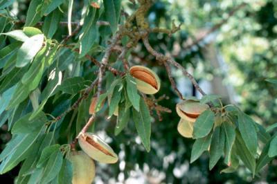 particularitati-de-crestere-si-fructificare-la-migdal