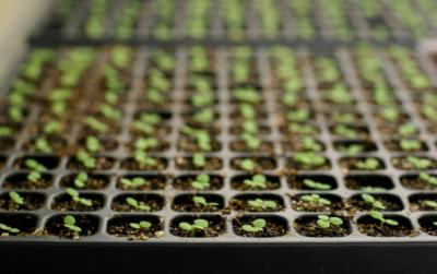 plantarea-rasadurillor-de-legume