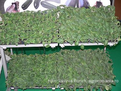 lucrari-de-sezon-in-legumicultura