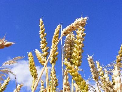 productii-mai-mari-la-cereale-in-judetele-prahova-si-satu-mare