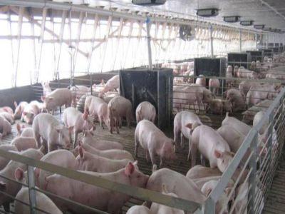 fermele-afectate-de-pesta-porcina-pot-fi-repopulate-in-aproximativ-patru-luni