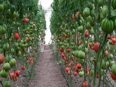 producatorii-de-tomate-isi-vor-primi-banii-pentru-ciclul-doi-de-productie