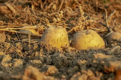 romania-ocupa-locul-6-la-productia-de-cartofi-in-ue