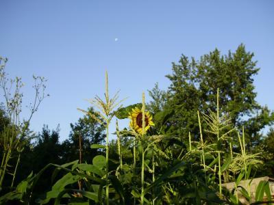 daea-romania-ramane-pe-primul-loc-in-ue-la-porumb-si-floarea-soarelui