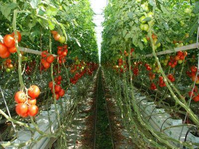 se-prelungeste-termenul-de-depunere-a-actelor-justificative-pentru-ajutorul-de-minimis-la-tomate