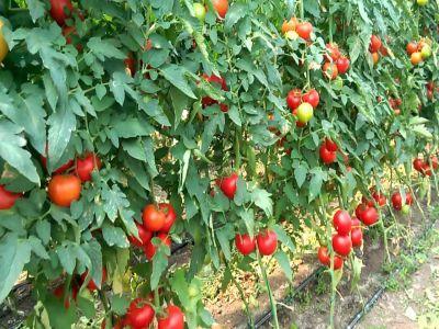 peste-12000-de-fermieri-inscrisi-in-programul-de-sprijin-pentru-tomate-pe-2018