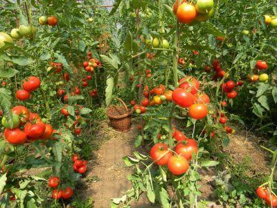 fermierii-au-livrat-pe-piata-peste-65000-de-tone-de-tomate-timpurii