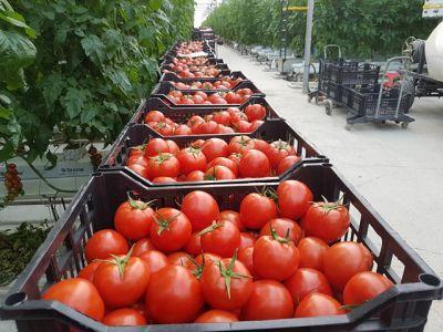 bilantul-primului-an-de-la-demararea-programului-de-sprijin-pentru-cultivatorii-de-tomate