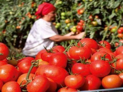 peste-5300-de-fermieri-au-solicitat-ajutorul-pentru-tomatele-cultivate-in-sere