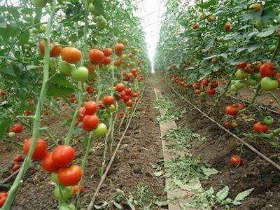 programul-de-sprijin-pentru-producatori-de-tomate-continua-si-anul-viitor