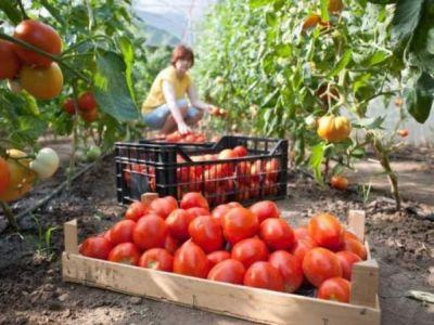 subventia-pentru-tomate-solicitata-de-tot-mai-multi-fermieri