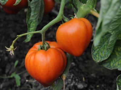 s-a-prelungit-perioada-de-valorificare-a-tomatelor-cultivate-in-spatii-protejate