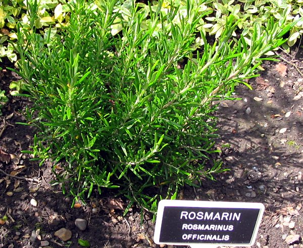 rozmarin_rosmarinus-officinalis