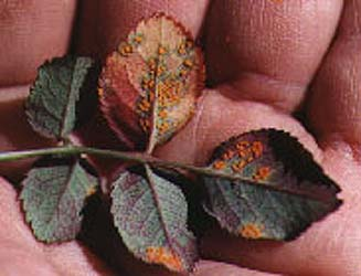 bolile-trandafirilor-rugina-frunzelor-la-trandafiri