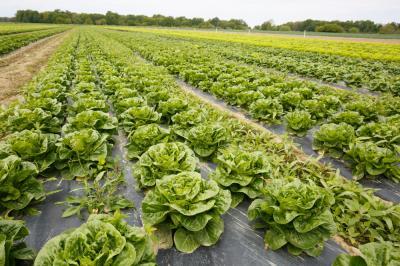 metode-eficiente-prin-care-mentii-o-calitate-crescuta-a-culturii-de-salata