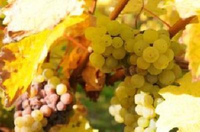 federatia-viticultorii-politica-de-supraimpozitare-a-viticultorilor-trebuie-sa-inceteze