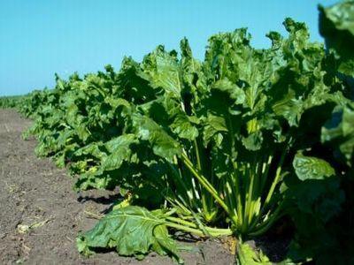 tratamente-fitosanitare-in-culturile-de-sfecla-de-zahar