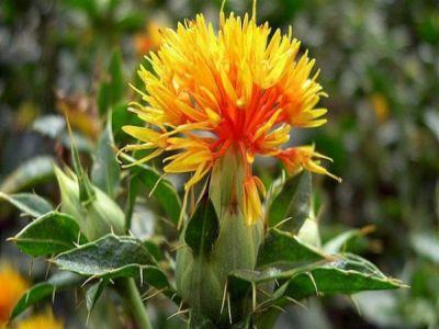 documentatie-cultivarea-sofranelului-carthamus-tinctorius