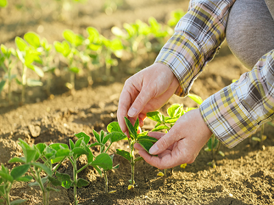 Planta usor de cultivat care va depasi porumbul la profitabilitate