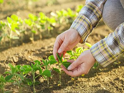 planta-usor-de-cultivat-care-va-depasi-porumbul-la-profitabilitate