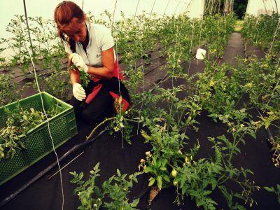 tratamente-fitosanitare-in-culturile-de-legume