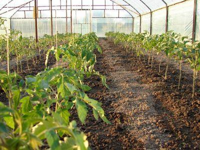 tot-mai-multi-fermieri-interesati-de-sprijinul-financiar-pentru-cultivarea-tomatelor-in-spatii-protejate