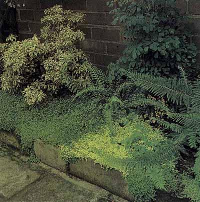specii-ornamentale-in-spatiile-umbrite-din-gradina