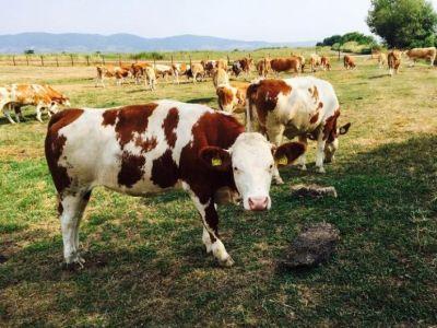 crescatorii-de-bovine-isi-vor-primi-avansurile-peste-doua-saptamani