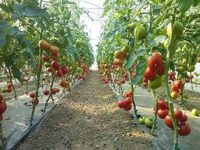 suplimentare-de-fonduri-pentru-sprijinul-acordat-producatorilor-de-tomate