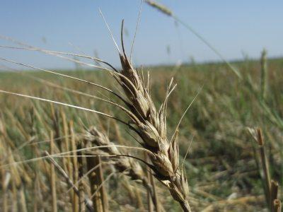 culturile-agricole-in-2012-toate-pe-minus-cu-exceptia-sfeclei-de-zahar