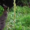 Cultivarea steviei