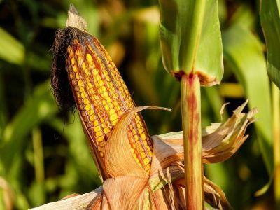 cu-ce-tratam-corect-culturile-de-porumb-sfecla-de-zahar-si-floarea-soarelui